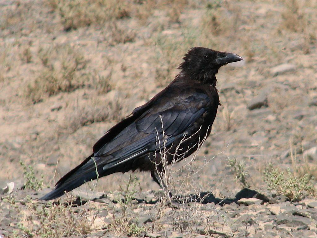 Пустынный ворон (Corvus ruficollis), Фото фотография картинка птицы