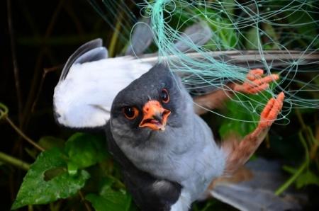 самец амурского кобчика в паутинной сети