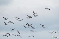журавли, перелетные птицы.