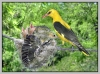 Воробьеобразные Passeriformes Иволговые (Oriolidae) Обыкновенная иволга.