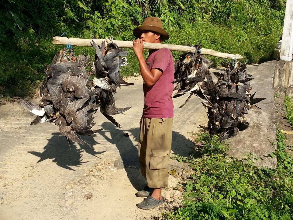 связка отловленных и убитых соколов